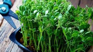 Harvest Microgreens