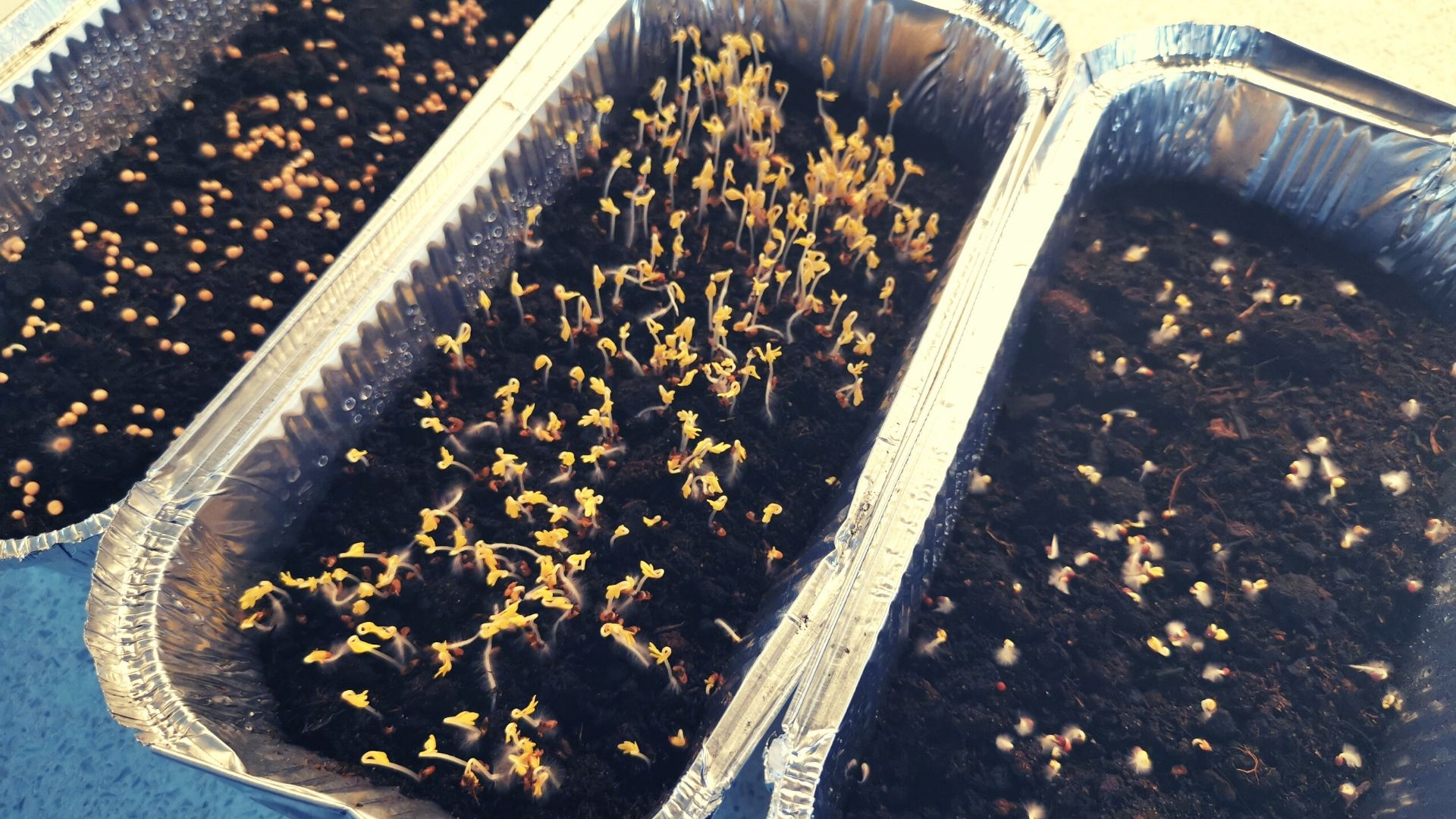 Microgreen-Growth-Day-3