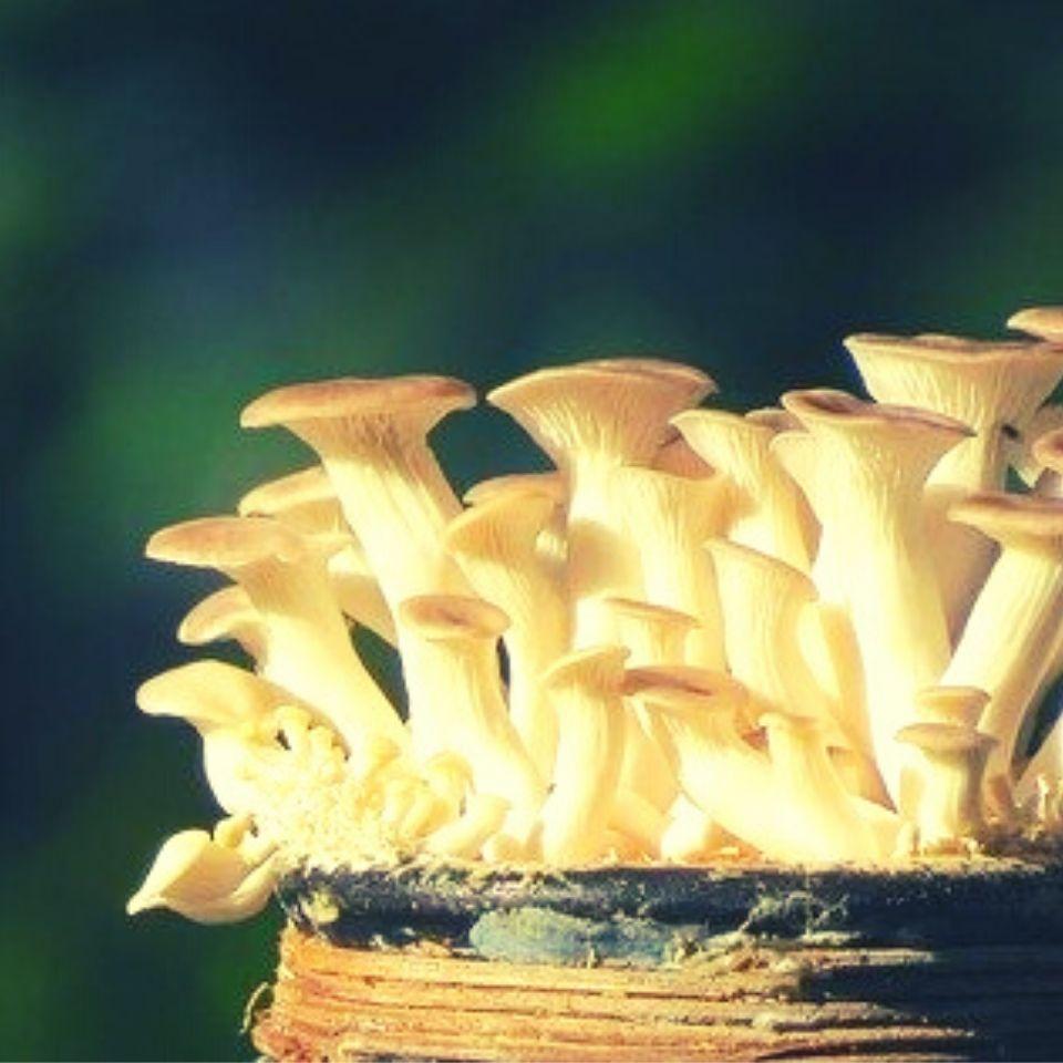 grow-oyster-mushrooms