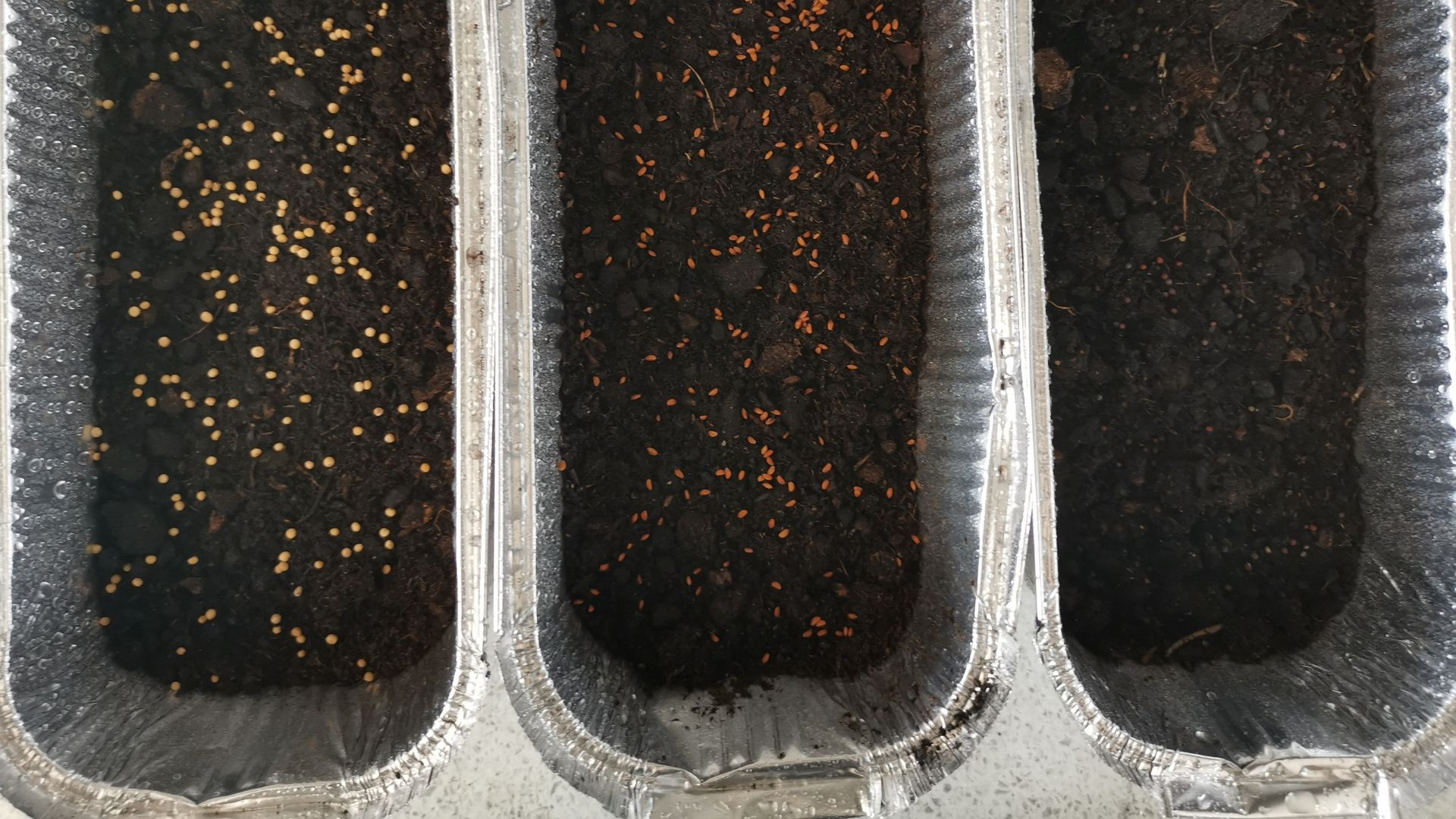 Sowing-Microgreens